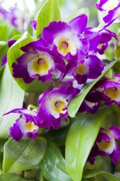 Dendrobium Comet King 'Akatsuki' orchid.