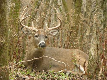 White-tailed Deer Habitat - Wildlife Ecology | UWSP