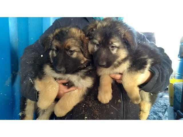 Quality German Shepherd Puppies Animals Adelanto California