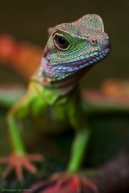 reptiles animal chameleon frog - photo #3
