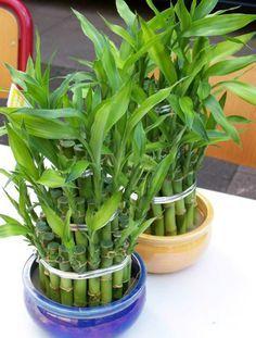 1.- El bambú de la suerte, que es en realidad una Dracaena, sólo necesita agua y luz, de ésta última se conforma con una poca aunque sea indirecta