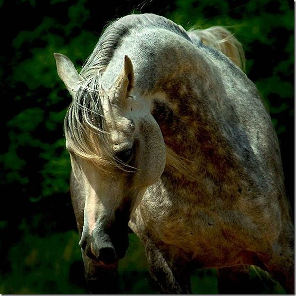 The origin of the purebred Arabian horse was the Arabian desert, and all Arabians ultimately trace their lineage to this source.