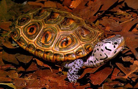 The Diamondback Terrapin is a salt marsh turtle ~ (Malaclemys terrapin) or simply terrapin, is a species of turtle native to the brackish coastal swamps of the eastern and southern United States. It has one of the largest ranges of all turtles in North America, stretching as far south as Florida Keys and as far north as Cape Cod