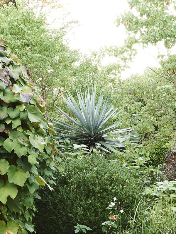 Textural contrast in the garden. The spikes of a Yucca (Yucca filamentosa) balance the fine dark foliage of an English box (Buxus sempervire...
