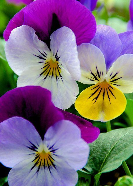 Violets by Lollie Weeks on Flickr.
