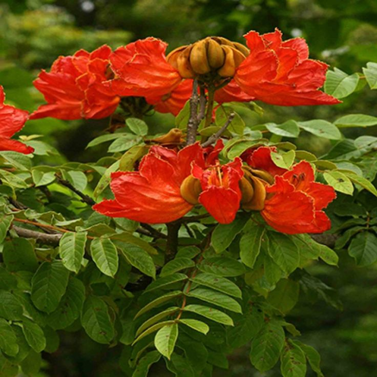 African tulip tree | Spathodea campanulata - NEMBA Category 3 in KwaZulu-Natal, Mpumalanga, Eastern Cape and Limpopo.