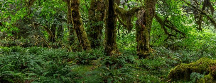 Lush temperate rainforest in Olympic National Park Washington [OC][2048 x 793] #reddit
