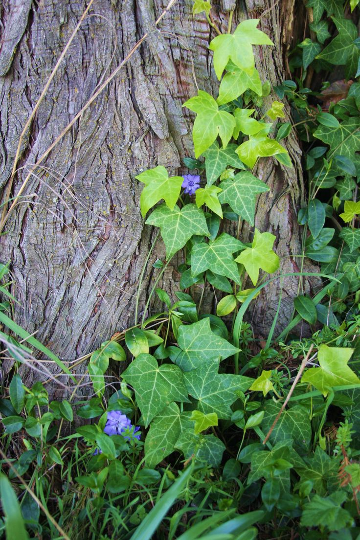 Periwinkle (Vinca major) and ivy (Hedera helix).  In a field by Ihop near 162, Vancouver, WA.  02/2015.