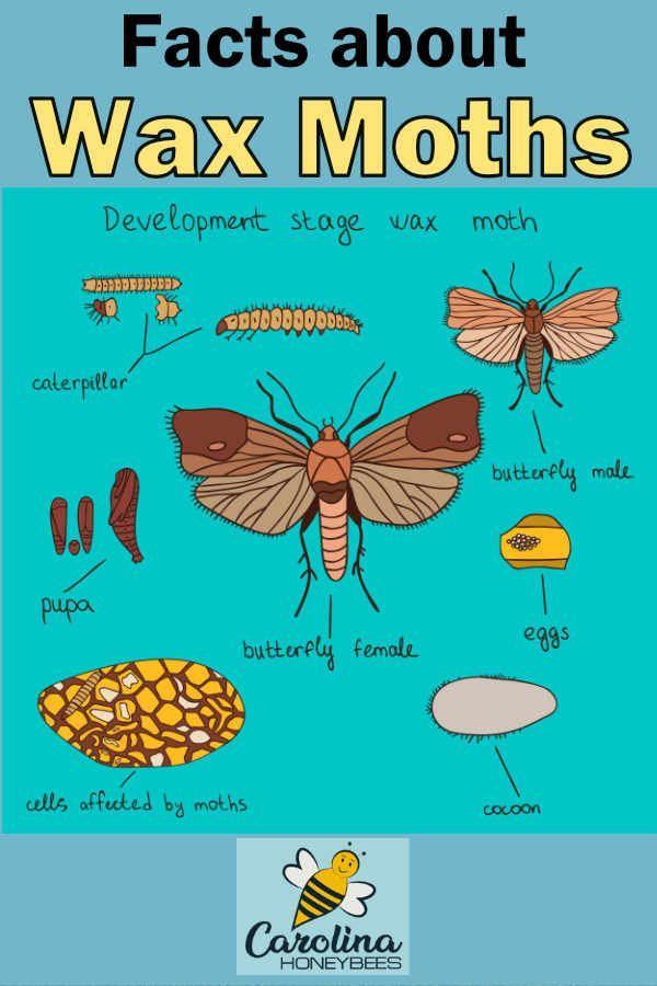How To Get Rid Of Wax Moths In Beehives Carolina Honeybees Wax Moth Bee Hive Honey Bee Swarm
