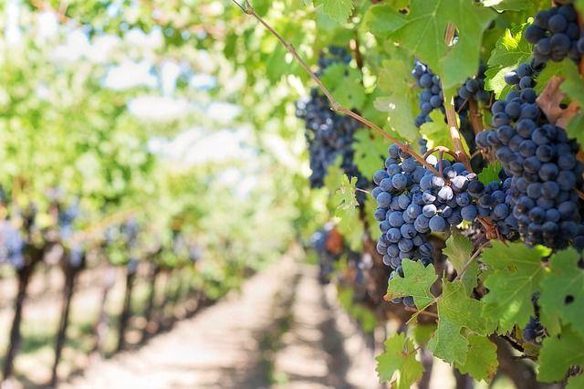 Purple Grapes, Vineyard - Free Image on Pixabay