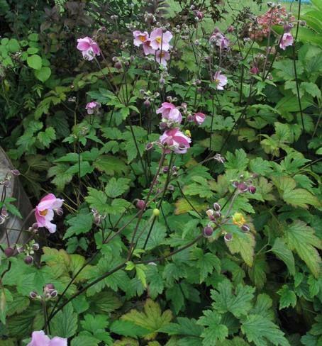 Anemone tomentosa 'Robustissima' Silvrig höstanemon Blommar i september. Blir ca 1m, trivs i sol och skugga. Passar med Blodtopp och miscantus sinensis `Kleine Fontäne´. Sorten är den härdigaste och skall planetras på våren för bäst utveckling av rotsystem innan vintern.