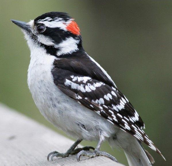 セジロアカゲラ Hairy Woodpecker Leuconotopicus Villosus Picus