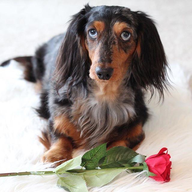 Cute Puppy And Roses Cute Puppies Shih Tzu Puppy Cute Dogs