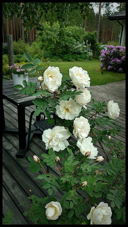 Rosa Pimpinellafolia Plena/ My garden