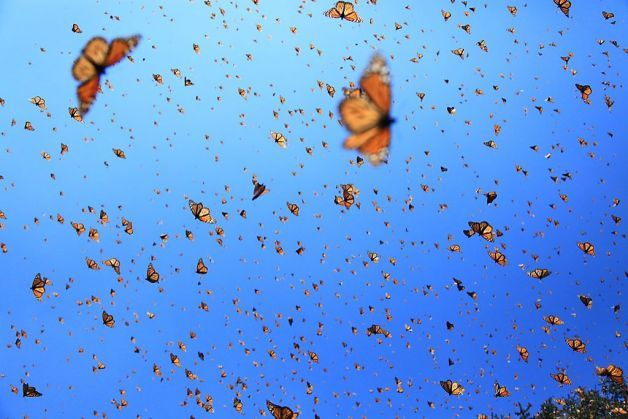 """Monarch butterfly migration to Mexico. This pic is from """"Flight of the Butterflies,"""" from SK Films, a Toronto production company, premiered at the Smithsonian Institution's National Museum of Natural History. Photo: Courtesy Of SK Films"""