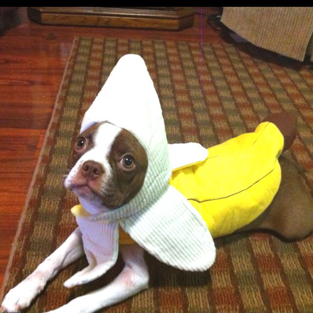 Chocolate Boston Terrier in her Banana suit.