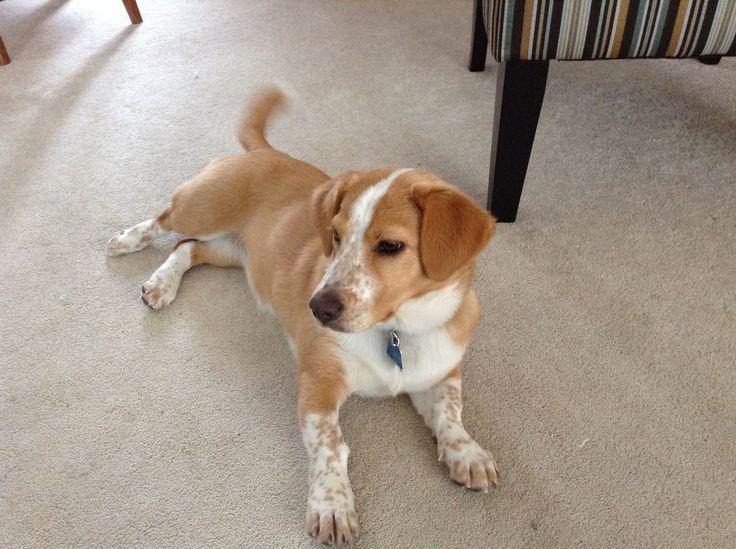 Beagi (Corgi-Beagle Mix) Info, Temperament, Puppies, Pictures, Video