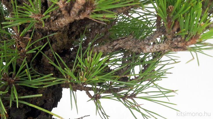 Pinus thunbergii cork bark – kuromatsu shohin - Pinus thunbergii cork bark - kuromatsu shohin bonsai alapanyag ami vélhetően nem volt mindig alapanyag. Valahogyan így lehetne jellemezni azt a fenyőt amivel nemrégiben gyarapítottuk gyűjteményünk. A növény egy parás kérgű fenyő amiről leginkább angol nyelvű irodalmat tudtunk elérni és ezen...