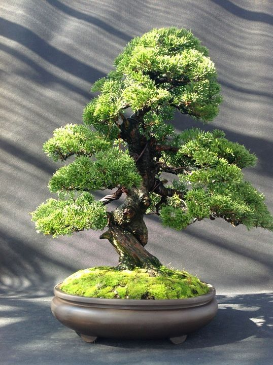 Really, realllly wanting a nice one like this! ////Bonsai alternative Tree of Life