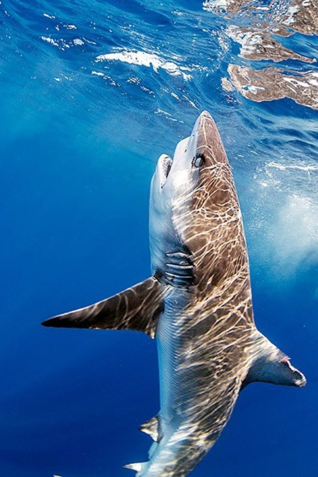 The great white shark is the biggest shark ranging 10-12ft in length. No one has ever seen a great white mate or hatch. Great Whites will eat anything and are a minor threat to humans. The bull shark is much more of a threat.