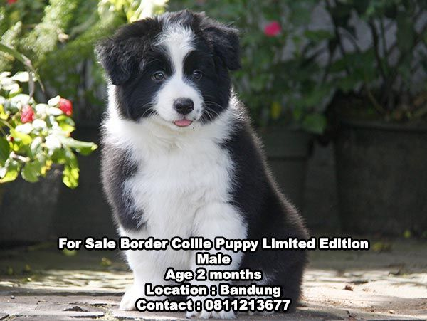 Dijual Anjing Border Collie Jual Anjing Border Collie Puppy