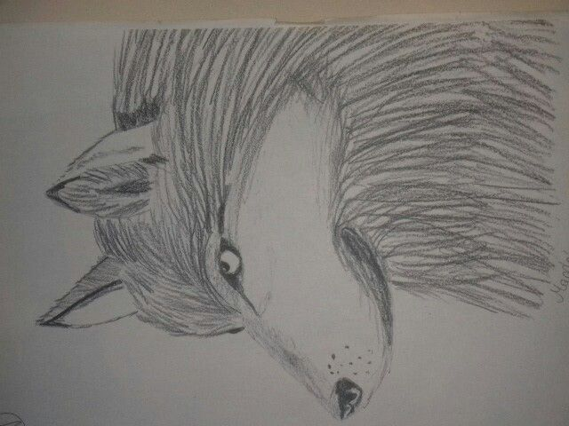#wilk #ołówek #rysunek