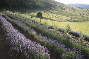 lavender field at Campo de Flori in Bloom