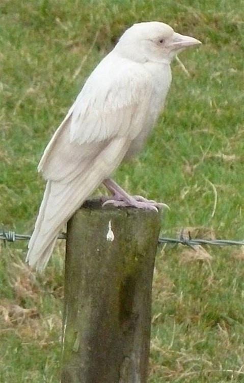 ✯ A truly rare bird - Albino Raven ✯ Surely he's a harbinger of magic...
