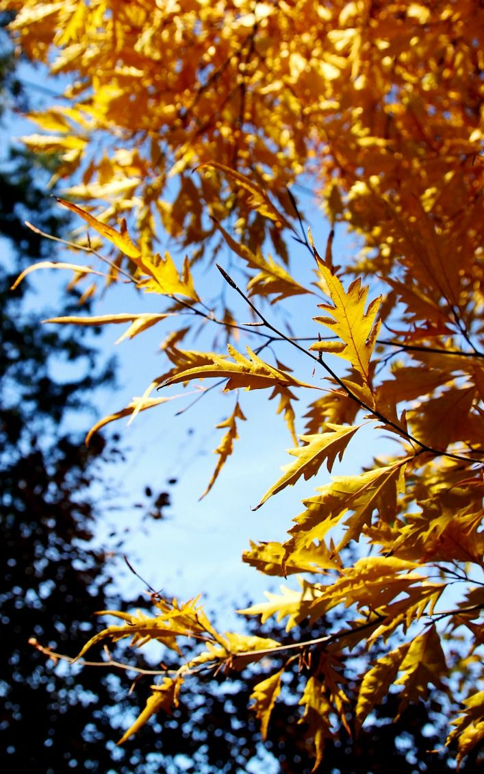 My favourite, the fern-leaved beech tree
