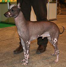 La pose de un perro sin pelo del Perú.