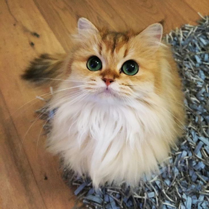 Cute Fluffy Smoothie the Cat