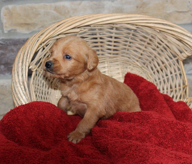 Breed Labradoodle Gender Male Registry Non Registrable Personality Devoted Date Available Dec 06 2018 Pic Mini Labradoodle Puppy Labradoodle Puppy Puppies
