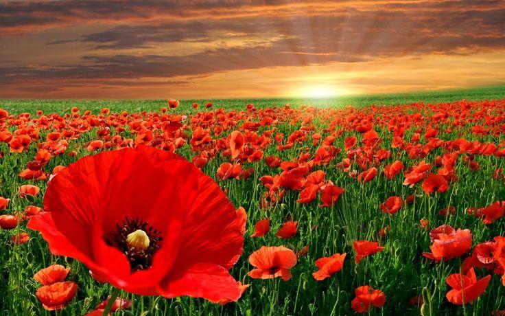 .: Flowers Fields, Fields Of Flowers, Red Poppies, Poppies Fields, Poppies Flowers, Red Flowers, Fields Of Dreams, Memories Day, Flowers Wallpapers