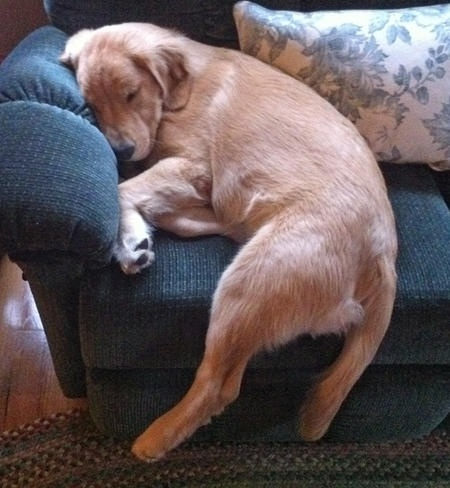 So cute how they will sleep almost anywhere, almost any way.: Sleep Dogs, Sleepy Time, Pet Dogs, Naps Time, Funny Puppies, Baby Puppies, So Sweet, Make Me Smile, Golden Retriever Puppies