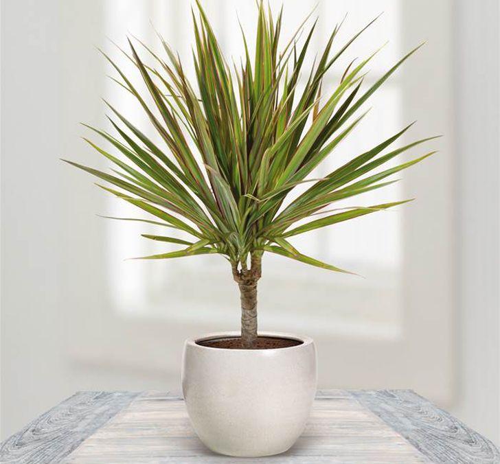 6 plantas de interior que purifican el aire de tu casa (segunda parte)