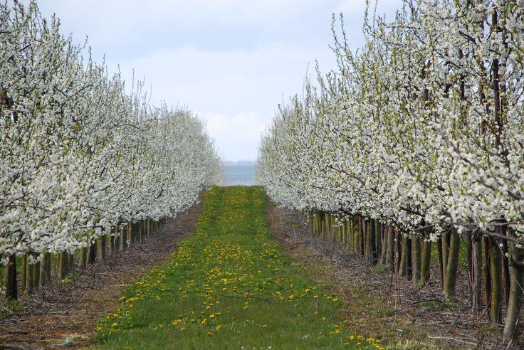 Blommerne blomstrer for fuld kraft på Fejø, sidst i April. De første modne blommer ligger i vejboderne omkring 20. Juli !