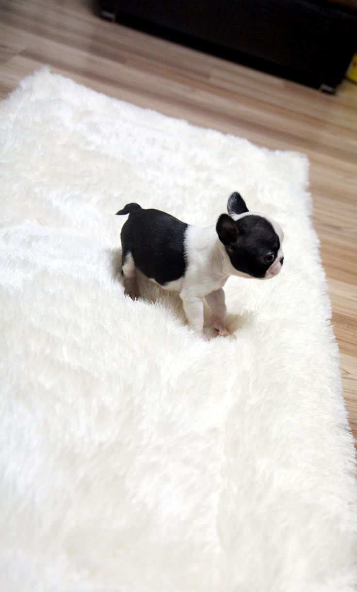 TEACUP PUPPY: ★Teacup puppy for sale★ French bulldog Bianco.
