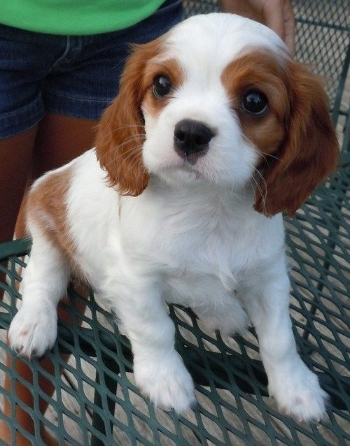 Cavalier King Charles Spaniel for Sale | Cavalier King Charles Spaniel Puppies For Sale - Dogs