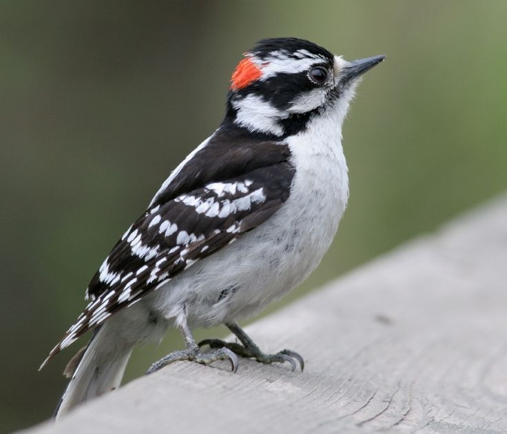Downy Woodpecker, small woodpecker. The females do not have the small red patch at the back of the head.