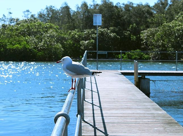 Seagull waiting patiently for food. Woy Woy NSW.
