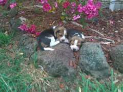 Beautiful Friendly Tri color Beagle puppies | puppies for sale Clarkefield Victoria | Beagle dogs for sale in Australia | Beagle puppies for sale in Australia @ #pups4sale here: http://www.pups4sale.com.au/dog-breed/395/Beagle.html