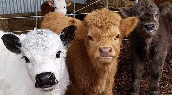 Yes You Can Own A Fluffy Mini Cow And They Make Awesome Pets In