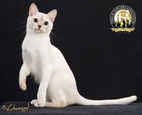 While the Burmilla is the newest breed to grace the cat fancy as a CFA breed, the origin to this breed dates back over 30 years ago.