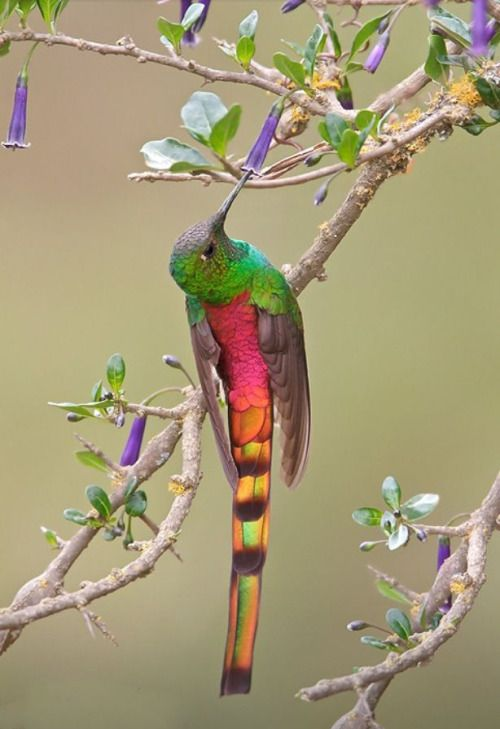 """letsgowild: """" Red-tailed Comet The Red-tailed comet (Sappho sparganurus) is a medium-sized hummingbird found in the central Andes of Bolivia and Argentina Image source: Glenn Bartley Nature Photography """""""