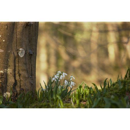 Snowdrops (Galanthus) Blossoming At The Base Of A Tree Gatehouse Of Fleet Dumfries Scotland Canvas Art - John Short Design Pics (38 x 24)