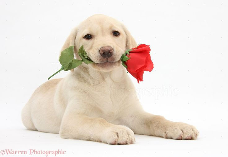Yellow Labrador Dog Images Happy Valentine's | Yellow Labrador Retriever pup with rose