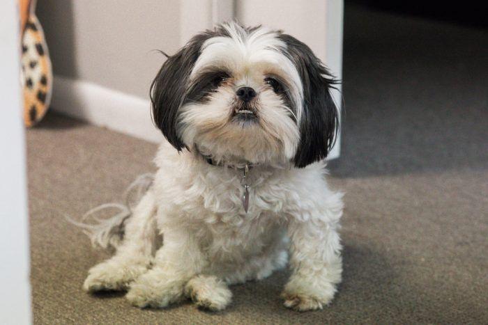 El Shih Tzu Esta raza de perro chino pequeño es conocida por diversos nombres, entre los cuales se encuentra perro león, chinese lion dog o chrysanthemum dog. Pesa entre 4,5 y 8,1 kg además de ser demasiado vigoroso, con mucho pelaje y un rostro similar al de crisantemo.