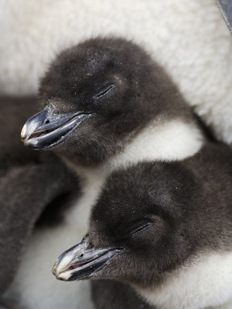 In Contrast to the Larger Penguin Species Such as the Emperor and the King…