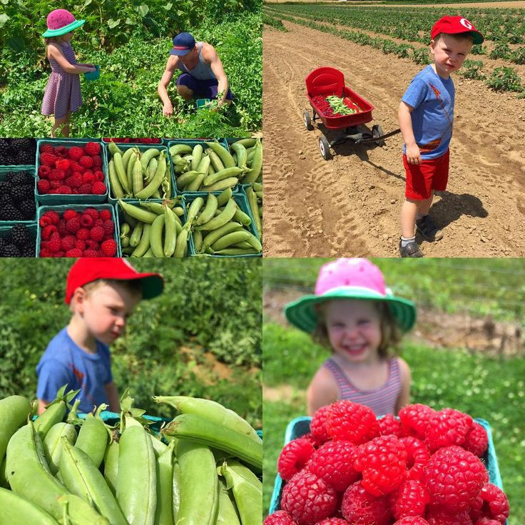 Went to a farm and picked raspberries and sugar snap peas. Gideon wanted to stay all day long. Harper wanted to eat and be gone. #grateful