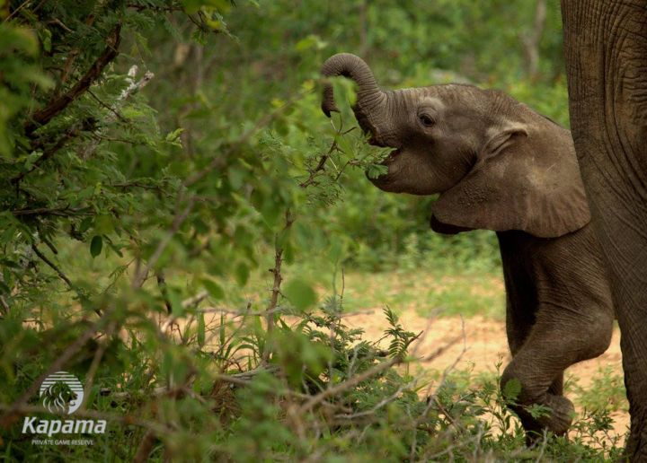 Young elephant - Kapama Private Game Reserve